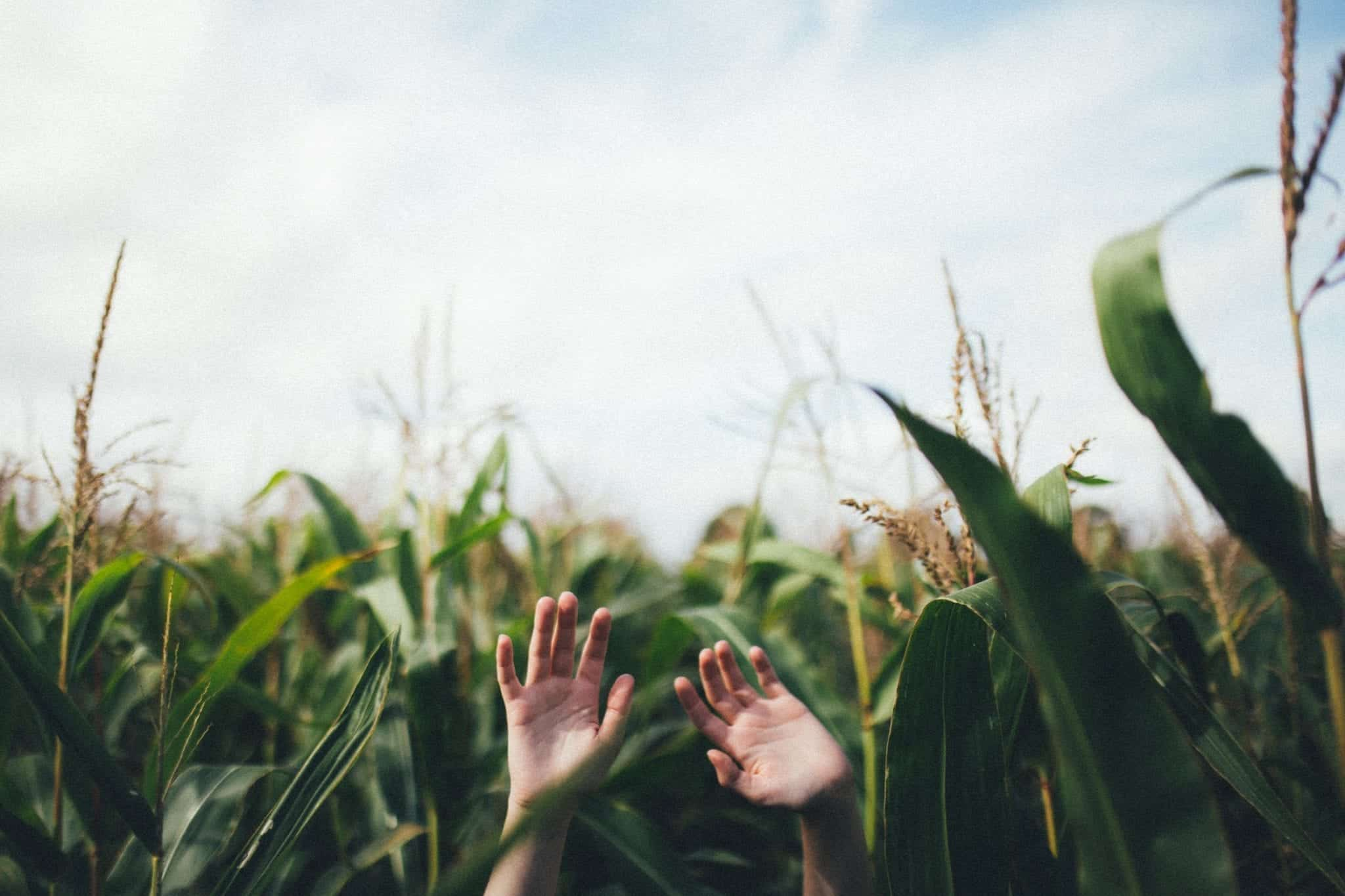 Two disembodied hands reach for the sky, in between endless rows of corn.