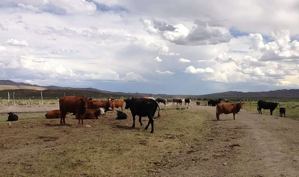 Image of cattle on a ranch