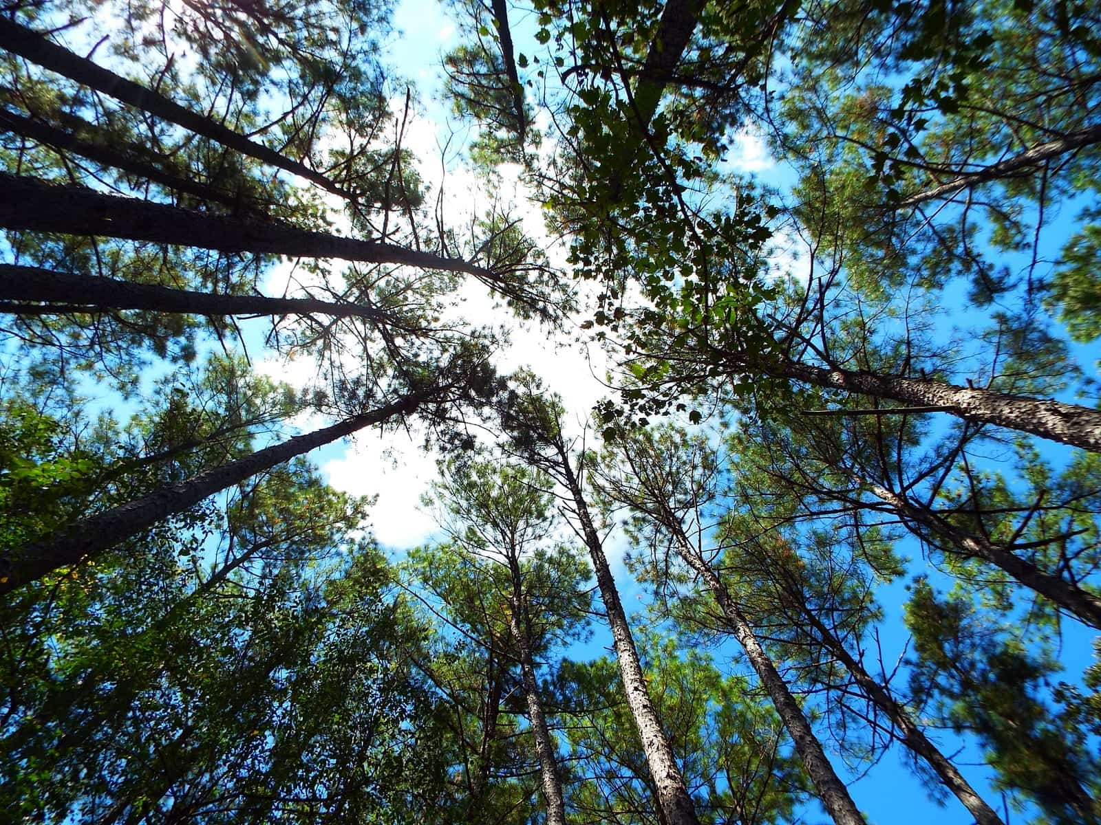Looking up at the sky through converging Loblolly pine treetops.
