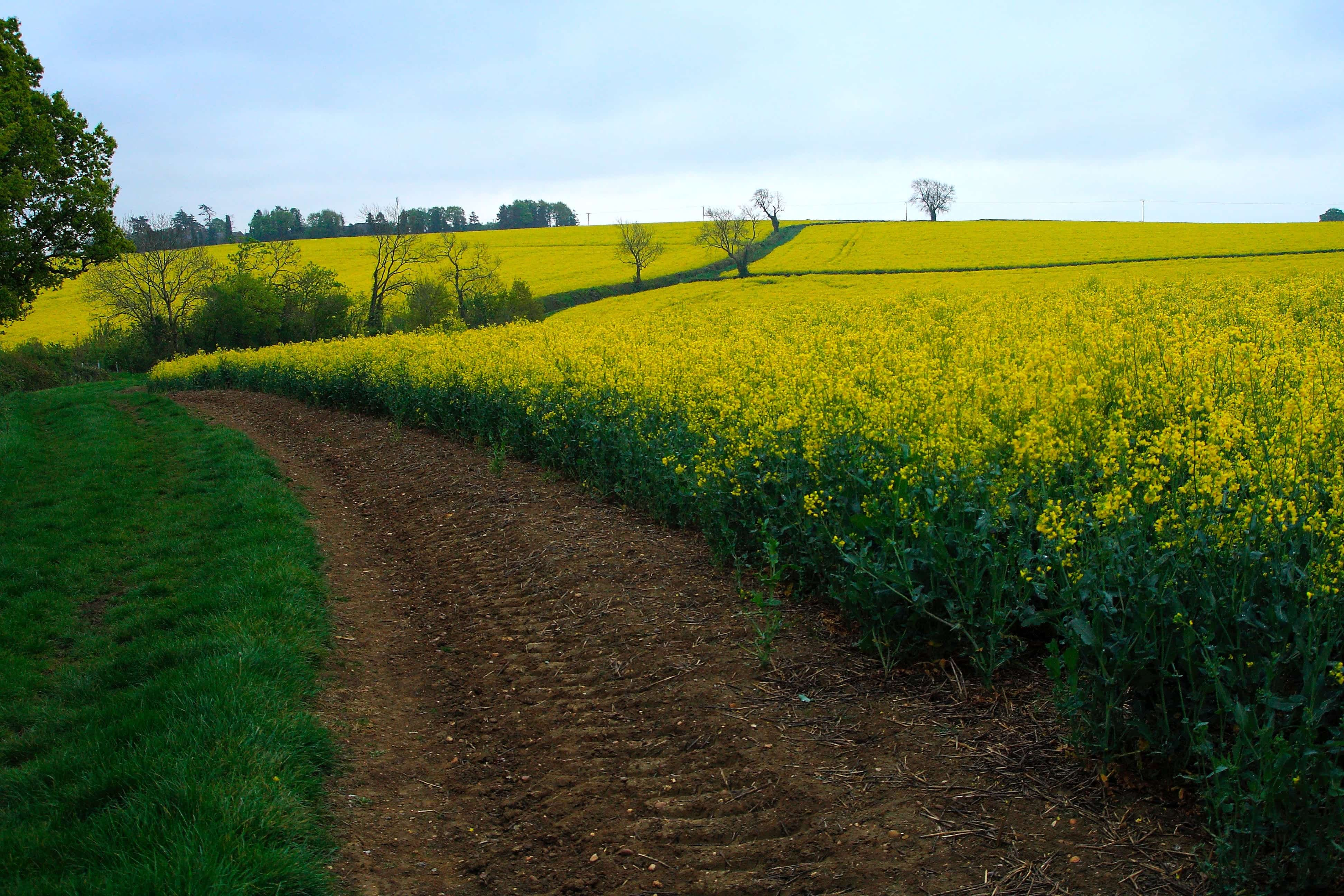 Dirt path running along field of yellow flowering plants; image by Benjamin Jameson, via Unsplash.com.